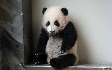 панда, атланта, giant panda, зоо