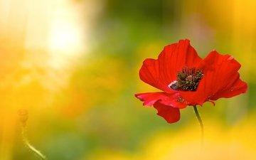 макро, цветок, красный, мак