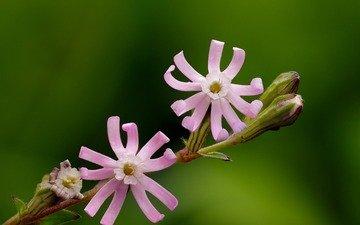 цветение, макро, цветок, розовый, растение, яркий, ziva & amir, лихнис