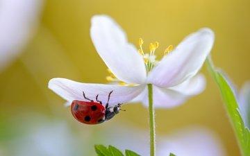 природа, макро, насекомое, цветок, белый, божья коровка