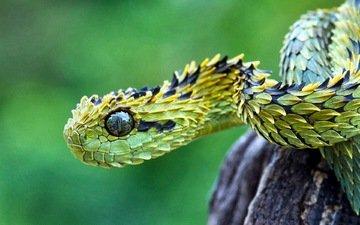 змея, зеленая, колючая, чешуйки, гадюка, кустарниковая