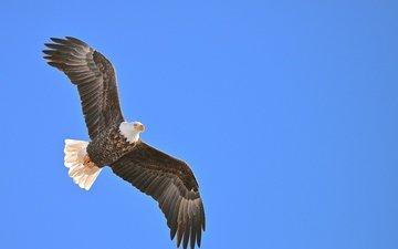 глаза, небо, крылья, орел, хищник, птица, клюв, перья, белоголовый орлан