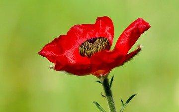 макро, цветок, красный, мак, ziva & amir