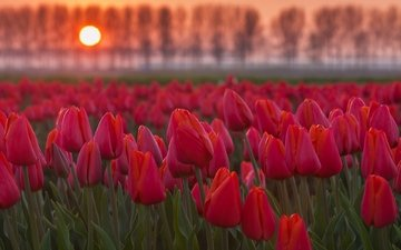 цветы, деревья, солнце, закат, поле, тюльпаны, плантация