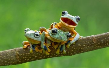 branch, nature, macro, background, frogs, wood