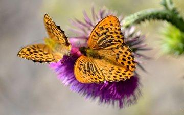 цветок, бабочка, насекомые, бабочки, растение, чертополох, сорняк