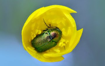yellow, beetle, macro, insect, flower, tulip, chafer