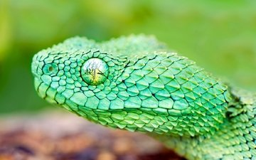 eyes, macro, snake, head, reptile, wood, scales, viper, african, wood adder
