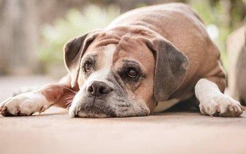 грусть, взгляд, собака, боксер