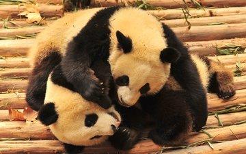 борьба, игра, панды, бамбуковые мишки