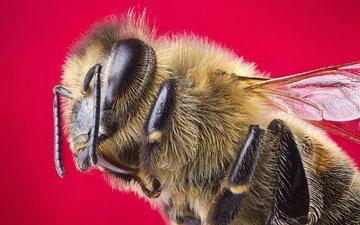 макро, насекомое, крылья, пчела, красный фон, голова