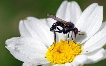 макро, насекомое, цветок, белый, муха, ziva & amir