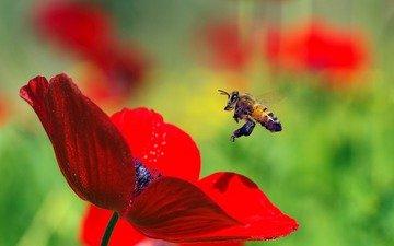 макро, насекомое, цветок, красный, мак, пчела, пыльца, ziva & amir