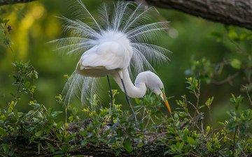 природа, птица, перья, хвост, цапля, птаха, белая цапля