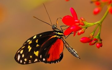 flowers, macro, butterfly, wings, insects