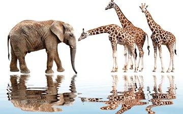 отражение, животные, слон, белый фон, жираф