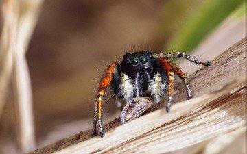 макро, насекомое, паук, ziva & amir, паук-скакун