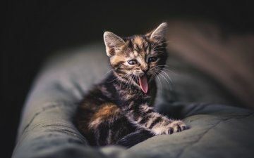 mustache, cat, kitty, grey, baby, language, striped, yawning, protruding