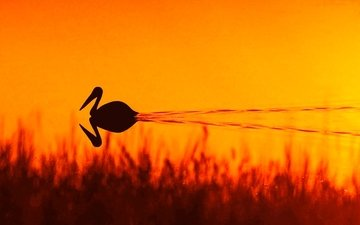 трава, вода, озеро, природа, закат, отражение, птица, пеликан