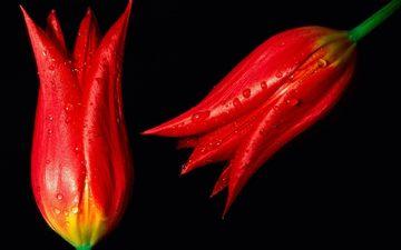цветы, бутоны, капли, красные, тюльпаны, red hot tulips