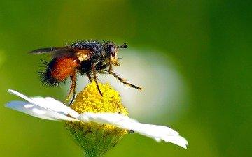 макро, насекомое, цветок, ромашка, пыльца, муха, опыление, летают, ziva & amir