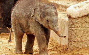 слон, хобот, слоненок
