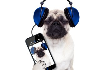 собака, наушники, юмор, белый фон, телефон, мопс, смартфон