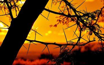 небо, дерево, закат, ветки, колючки, силуэт