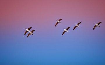 the sky, nature, flight, birds, duck