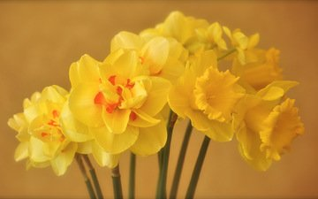 flowers, petals, spring, bouquet, yellow, the narciso
