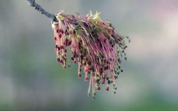 ветка, природа, цветение, фон, весна
