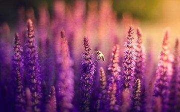 цветы, природа, поле, лаванда, пчела, боке, сиреневые