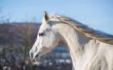 морда, небо, лошадь, белый, профиль, конь, грива, шея, оливер зейтц [oliver zeytts]