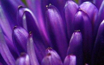 макро, цветок, лепестки, фиолетовый, цветком