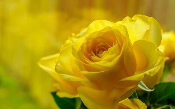 макро, роза, красота, бутон, жёлтая