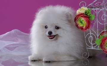 flowers, fluffy, white, dog, puppy, spitz