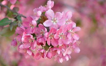 flowers, branch, flowering, blur, spring, pink