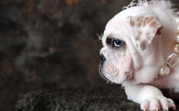 собака, бусы, жемчуг, бульдог, английский бульдог