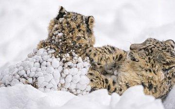 снег, борьба, парочка, игра, семья, дикие кошки, хищники, снежные барсы