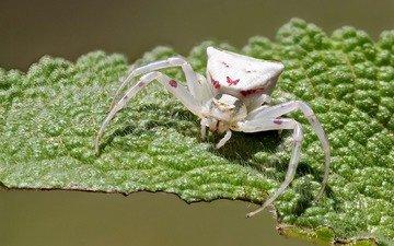 макро, насекомое, белый, лист, паук, ziva & amir, white crab spider