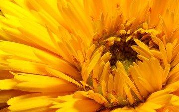 желтый, макро, цветок, лепестки, бутон, хризантема