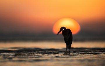 the sky, water, the sun, sunset, sea, bird, heron