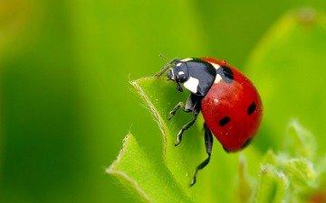 macro, insect, sheet, ladybug, ziva & amir