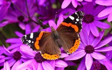 цветы, насекомое, лепестки, бабочка, крылья, мотылек