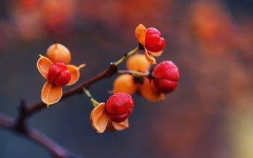 ветка, природа, макро, осень, шиповник, ягоды, rose hip