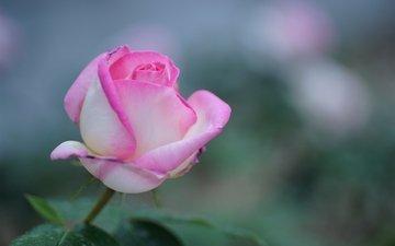 природа, фокус камеры, цветок, роза, розовая
