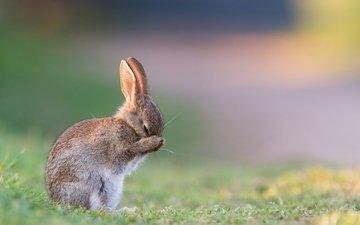 трава, утро, лето, заяц, зайчонок