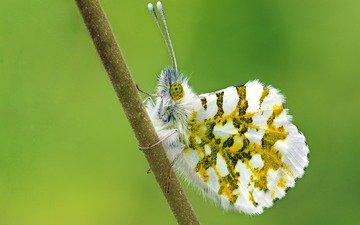 насекомое, бабочка, ziva & amir, eastern dappled white, зорька белая