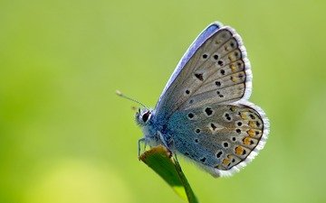 grass, macro, insect, butterfly, stem, ziva & amir, common blue, polyommatus icarus
