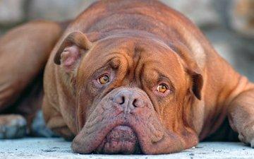 глаза, морда, грусть, взгляд, собака, cобака